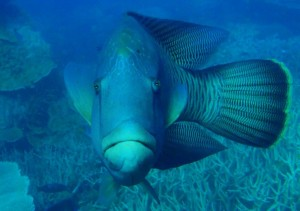 Albertina our friendly Maori Wrasse in Manta Ray Bay