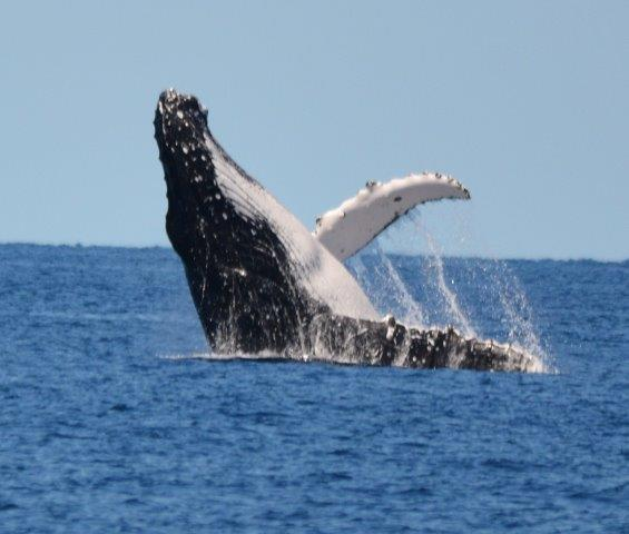 luxury yacht charter whitsundays humpback whale looking